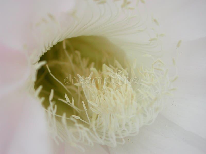 Cierre de la flor del múltiplex de Echinopsis para arriba fotos de archivo libres de regalías