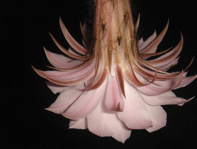 Cierre de la flor del m?ltiplex de Echinopsis para arriba fotografía de archivo libre de regalías