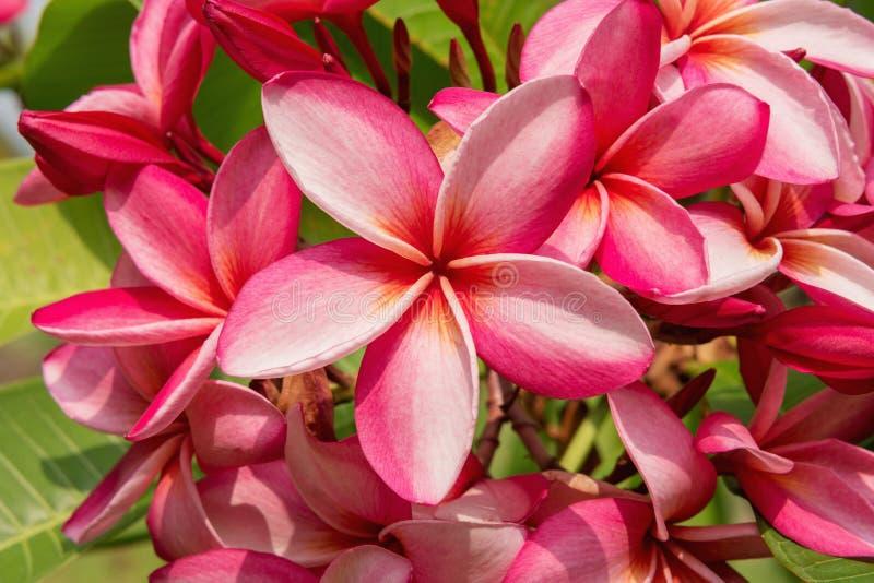 Cierre de la flor hermosa del Plumeria o del Frangipani encima del fondo imagen de archivo libre de regalías