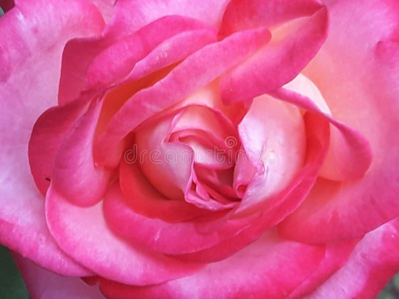 Cierre de la flor de la rosa del rosa para arriba fotos de archivo libres de regalías