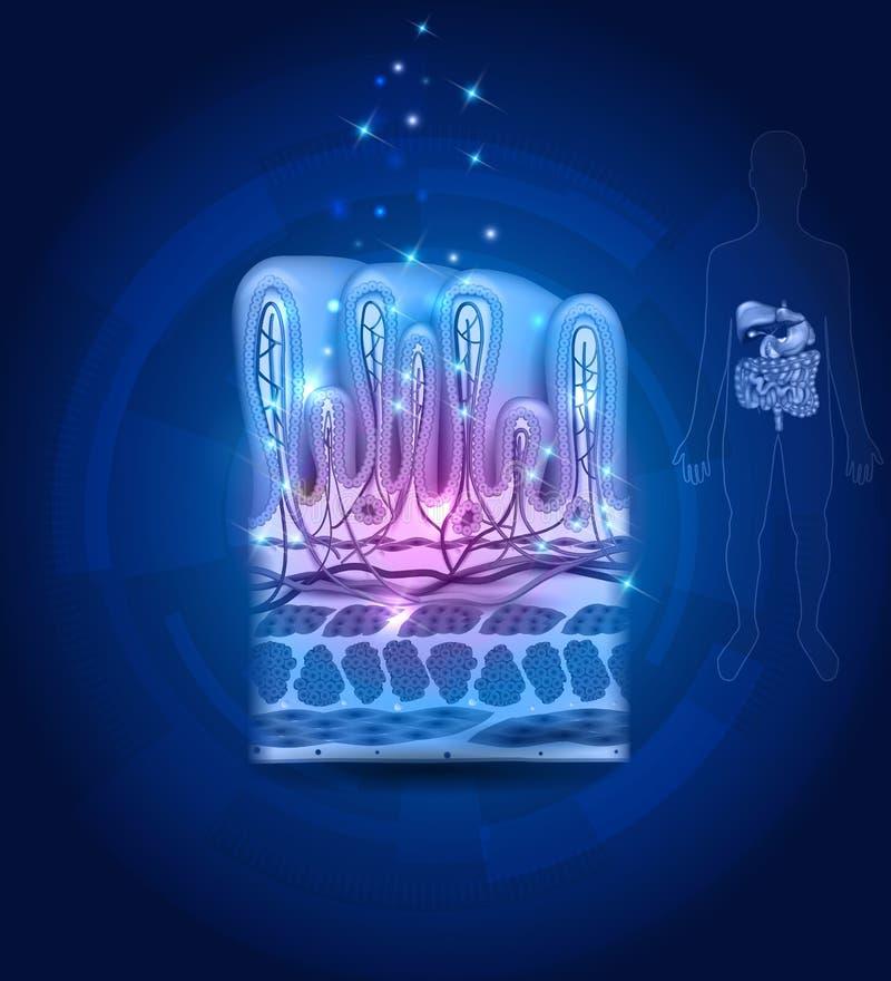 Cierre de la guarnición del estómago encima de la anatomía, dibujo hermoso en un abstrac libre illustration