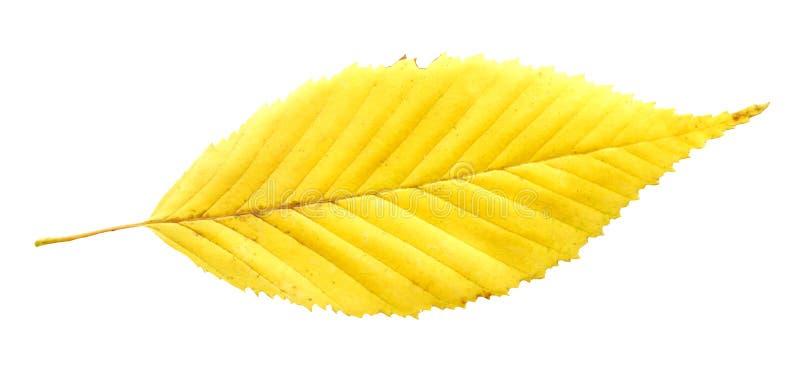Cierre de la hoja del árbol de olmo encima del tiro El otoño de oro colorea la hoja del árbol de olmo aislada imagen de archivo