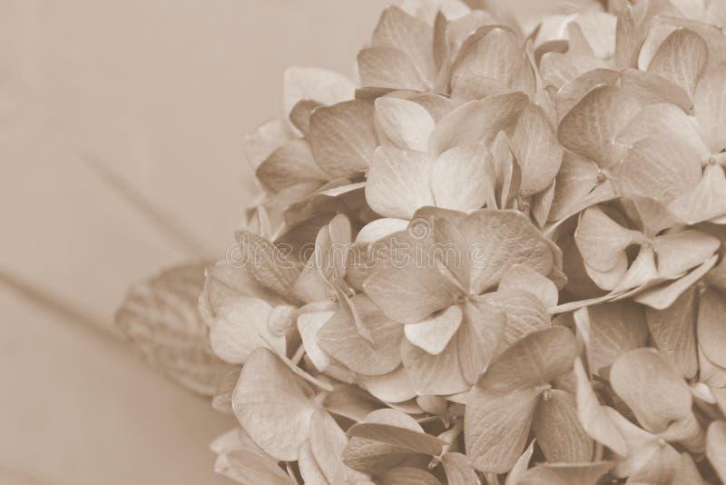 Cierre de la hortensia del vintage para arriba imagenes de archivo