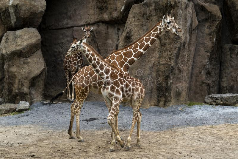 Cierre de la jirafa de Tanzania encima del retrato imágenes de archivo libres de regalías