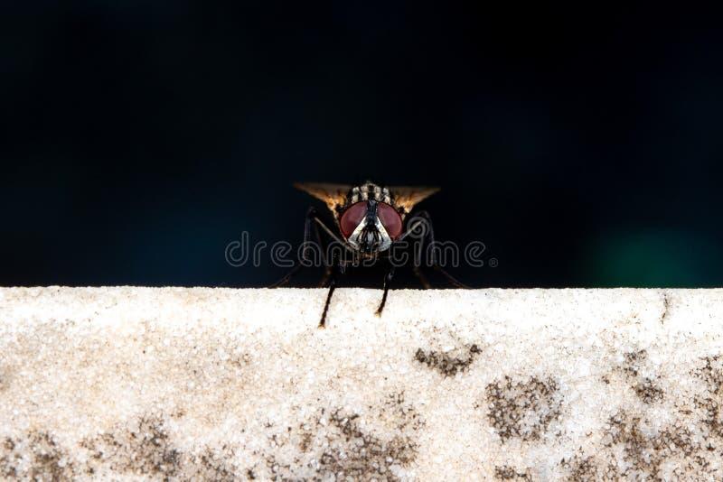 Cierre de la macro de la mosca encima del retrato fotos de archivo