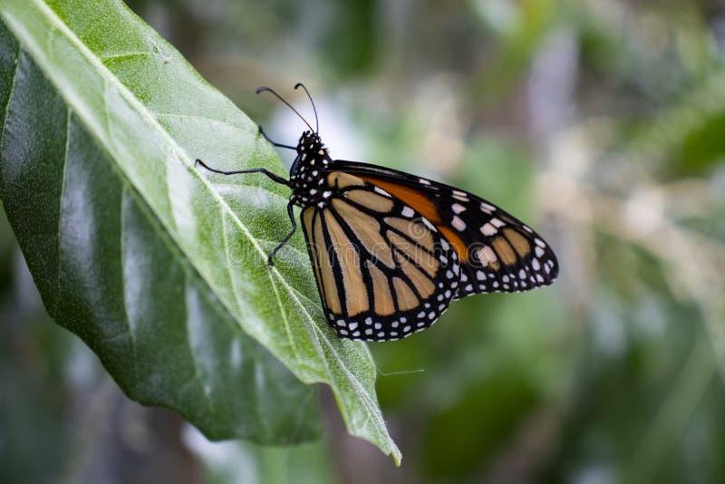 Cierre de la mariposa de monarca para arriba tirado en una hoja foto de archivo