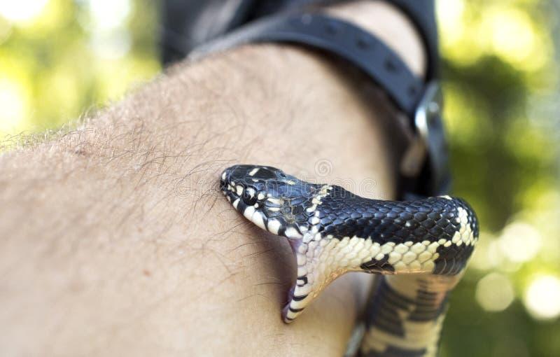 Cierre de la mordedura de la serpiente para arriba imágenes de archivo libres de regalías