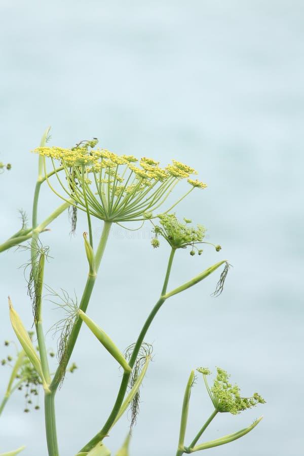 Cierre de la planta del hinojo encima del fondo azul claro imagenes de archivo