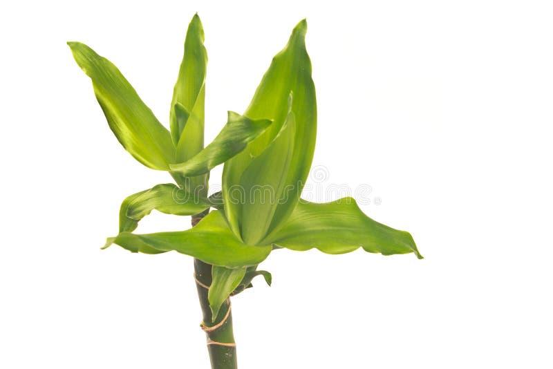 Cierre de la planta de la yuca para arriba aislado en blanco foto de archivo libre de regalías