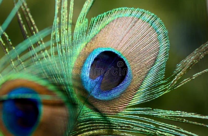 Cierre de la pluma del pavo real para arriba El pájaro hermoso y divino de la India, un símbolo de la riqueza imágenes de archivo libres de regalías