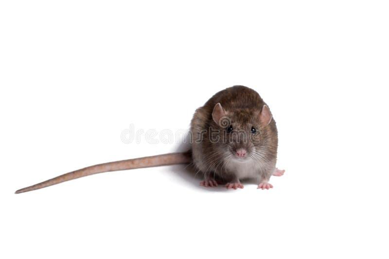 Cierre de la rata encima del aislante en blanco foto de archivo