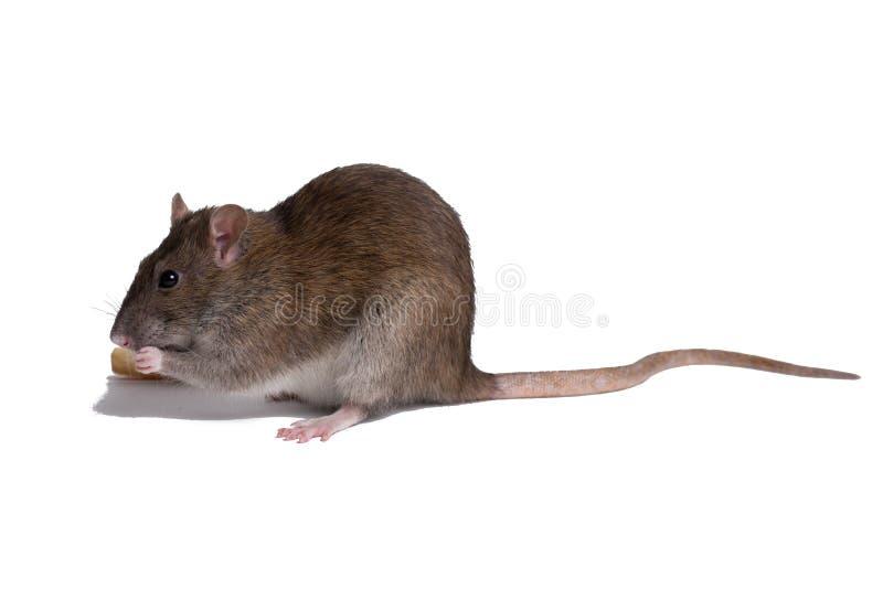 Cierre de la rata encima del aislante en blanco imagen de archivo