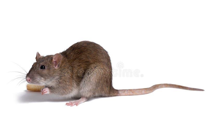 Cierre de la rata encima del aislante en blanco fotografía de archivo libre de regalías