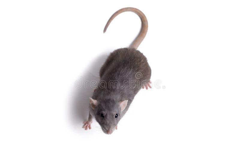 Cierre de la rata encima del aislante en blanco imagen de archivo libre de regalías