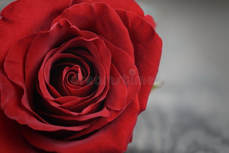 Cierre de la rosa del rojo encima de la foto foto de archivo