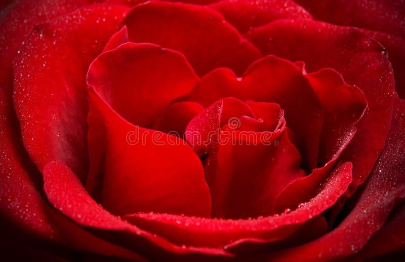 Cierre de la rosa del rojo para arriba imagen de archivo libre de regalías