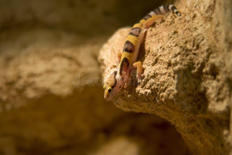 Cierre de la salamandra del leopardo para arriba, dof bajo imagen de archivo libre de regalías