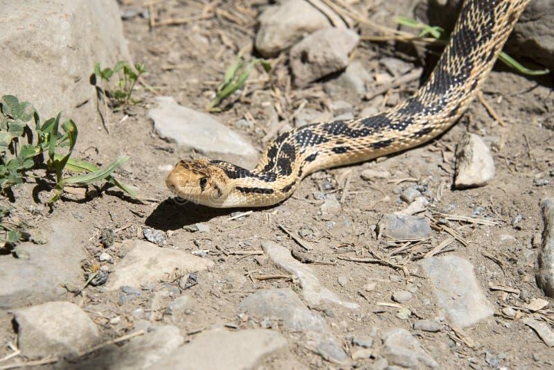 Cierre de la serpiente de Gopher para arriba foto de archivo