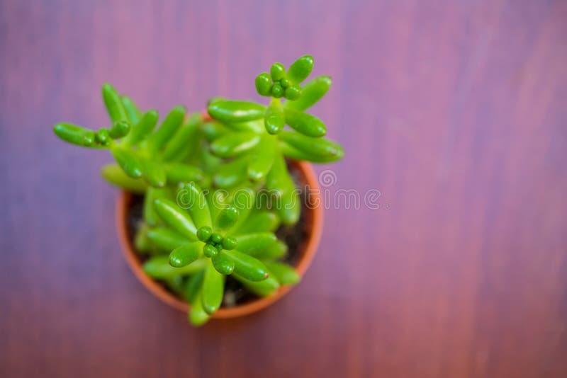 Cierre de la visión superior para arriba del pequeño succulent verde del plátano imágenes de archivo libres de regalías