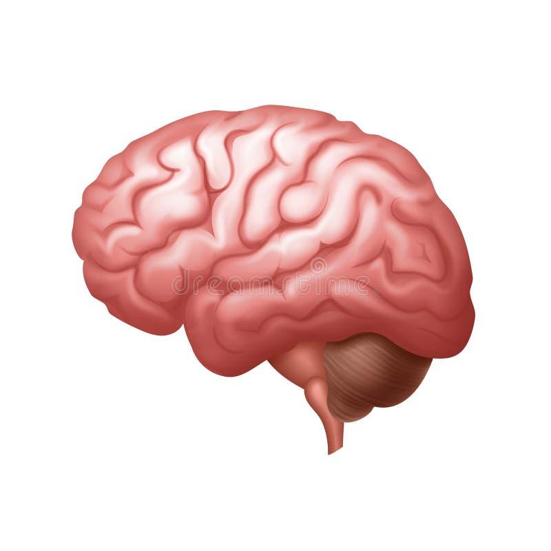Cierre de la vista lateral del cerebro humano del rosa del vector para arriba aislado en fondo ilustración del vector