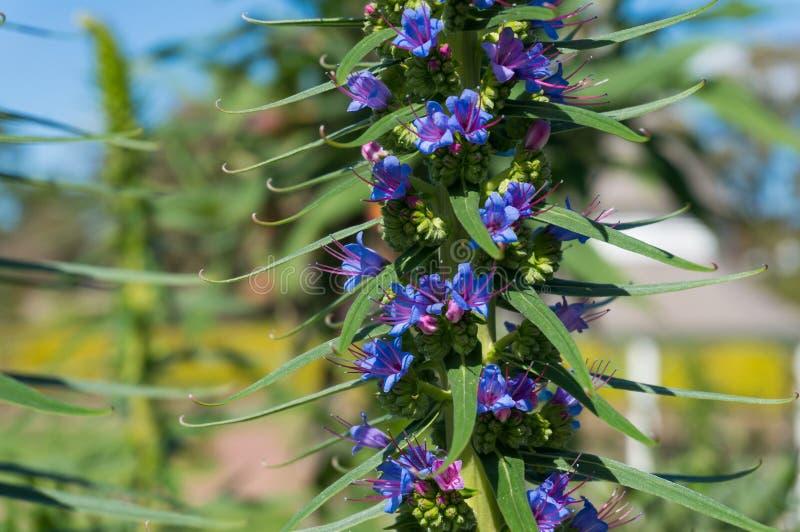 Cierre de las flores azules de Liatris Spicata o de la planta Dense Blazing Star imagen de archivo libre de regalías