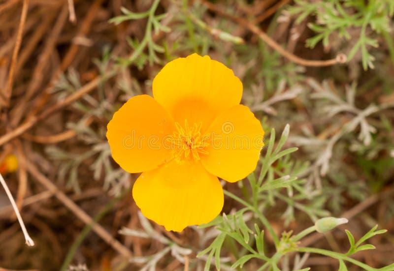 Cierre de oro anaranjado magnífico de la flor de cuatro pétalos para arriba imagenes de archivo