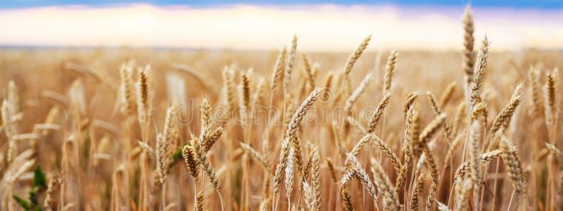 Cierre de oro del trigo de los oídos del campo de trigo fotografía de archivo libre de regalías