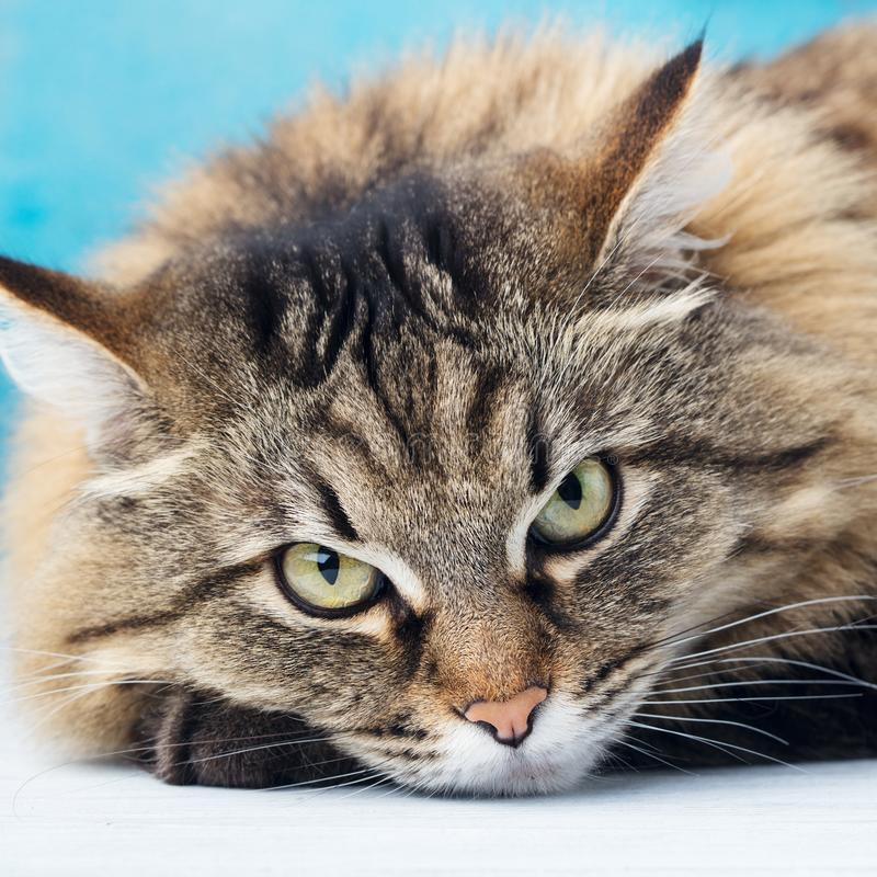 Cierre de pelo largo siberiano del gato para arriba Fondo para una tarjeta de la invitación o una enhorabuena Cierre para arriba imagen de archivo
