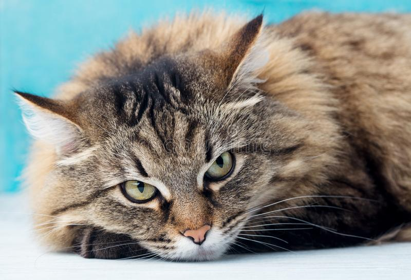 Cierre de pelo largo siberiano del gato para arriba Fondo para una tarjeta de la invitación o una enhorabuena Cierre para arriba fotografía de archivo libre de regalías