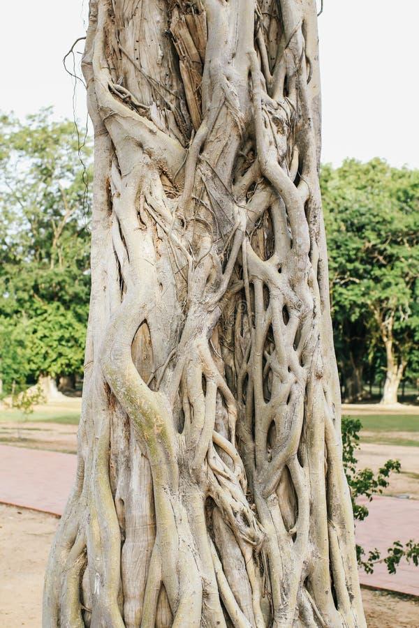 Cierre de raíces de tronco de árbol baniano con tallas de tronco natural arqueado y curvo de árbol banano y raíces en tonos imágenes de archivo libres de regalías