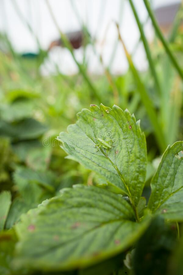 Cierre de saltamontes en hojas de fresa en el jardín fotos de archivo libres de regalías