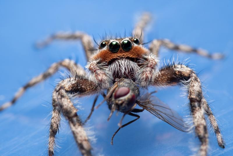 Cierre de una araña Tan Jumping macho, Platycryptus undatus foto de archivo