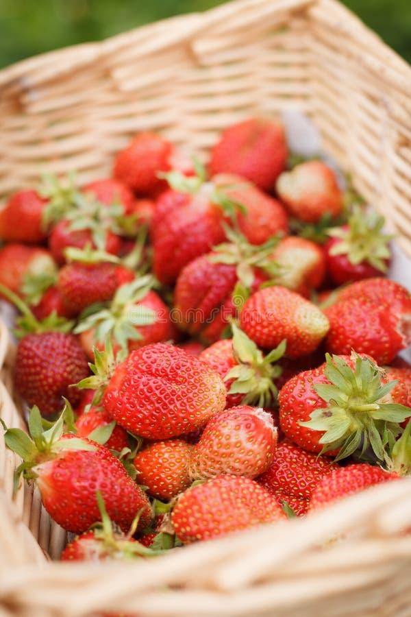 Cierre de una gran cesta de fresa orgánica recién recolectada Cosecha veraniega en el jardín Concepto de alimentos sanos imagen de archivo