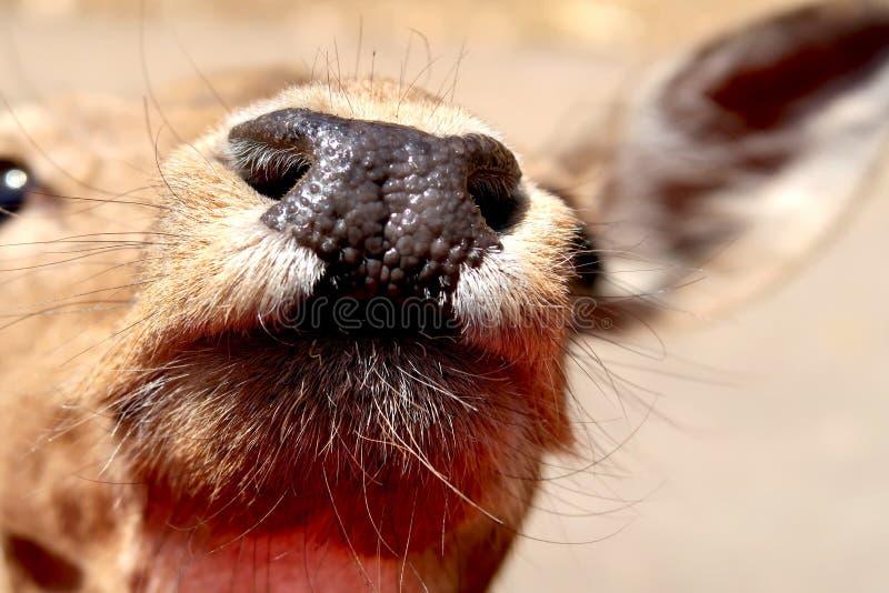 Cierre de una nariz húmeda de ciervo de barbecho en ZOO safari Fasano en Italia, región de Apulia imagen de archivo libre de regalías