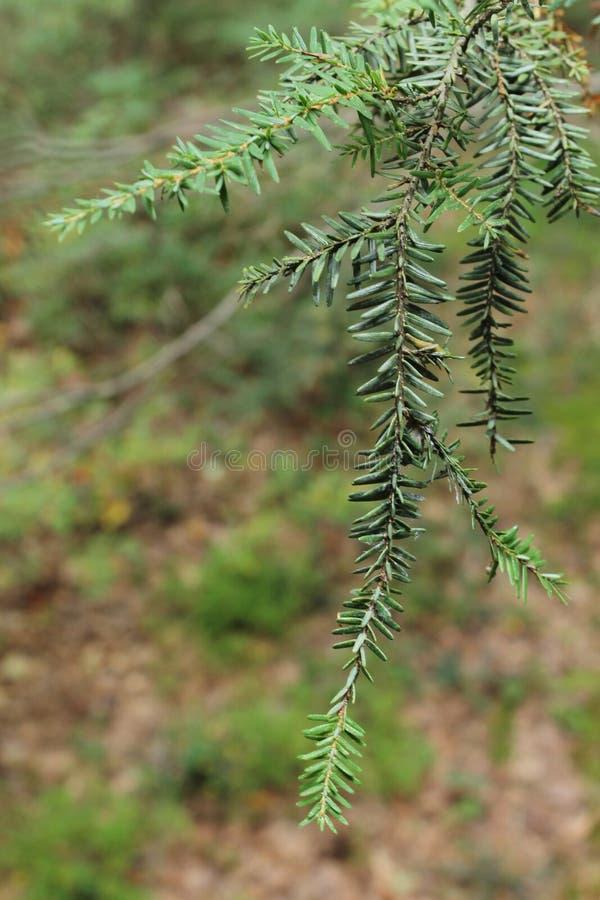 Cierre del árbol de pino para arriba fotos de archivo