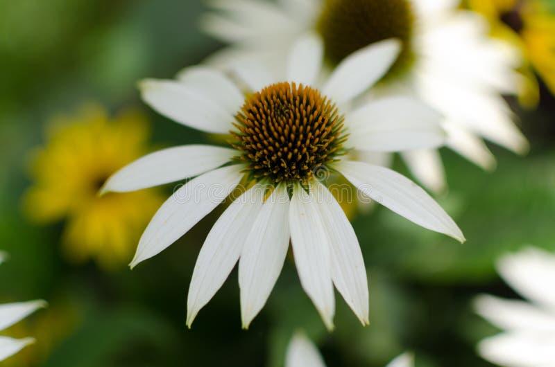 """Cierre del """"swanblanco"""" del purpurea del Echinacea para arriba con un fondo manchado de flores amarillas y blancas imagen de archivo libre de regalías"""