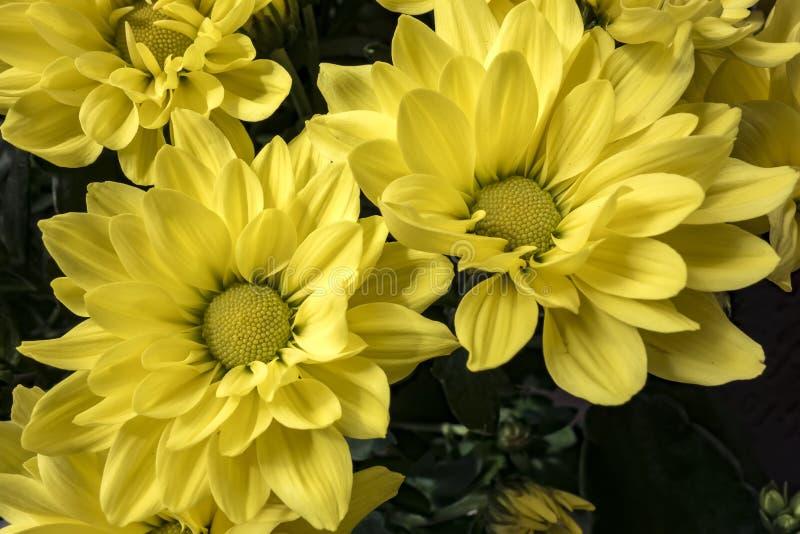 Cierre del amarillo de la flor del crisantemo para arriba foto de archivo