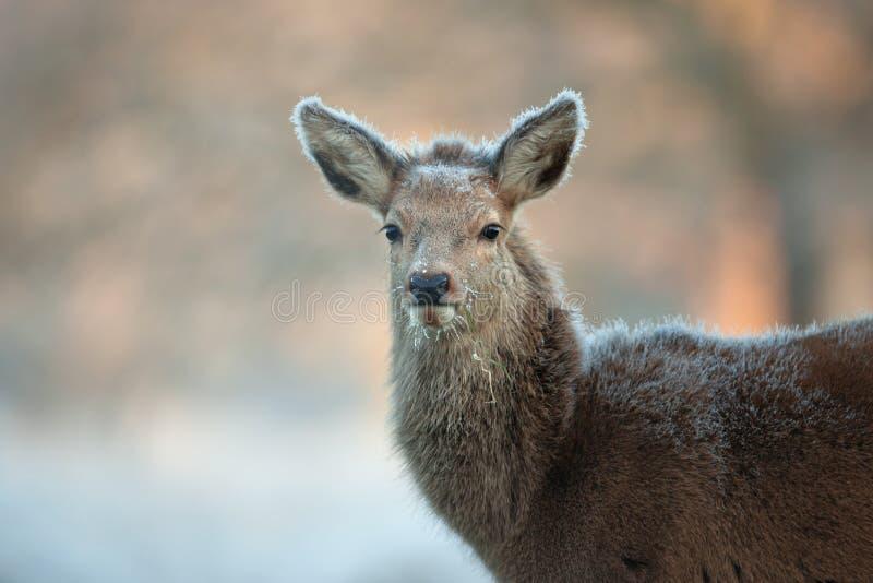 Cierre del becerro de los ciervos comunes encima del retrato fotografía de archivo libre de regalías