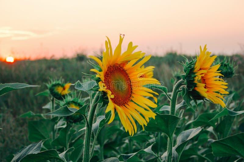 Cierre del brote del amarillo del campo del girasol para arriba fotos de archivo