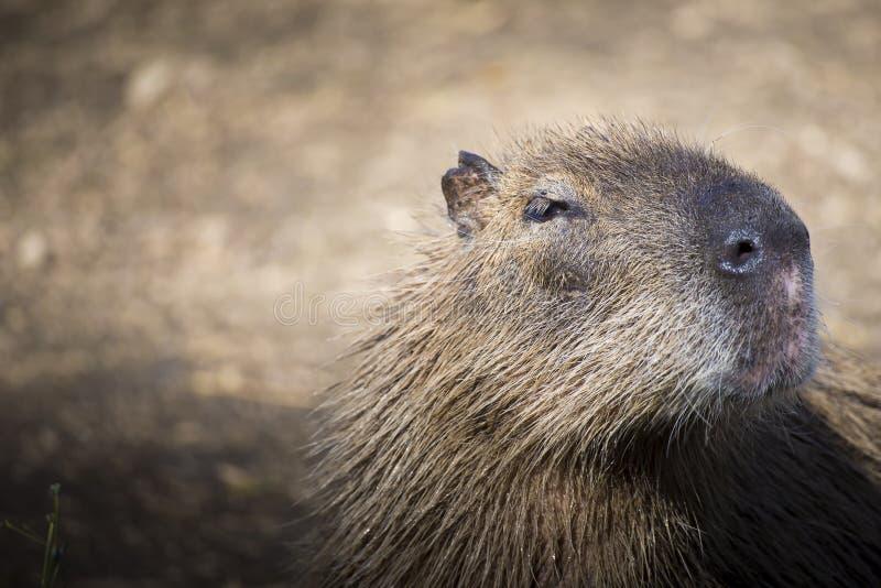 Cierre del Capybara encima del retrato foto de archivo libre de regalías
