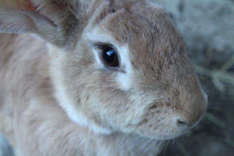 Cierre del conejo de la granja para arriba foto de archivo libre de regalías