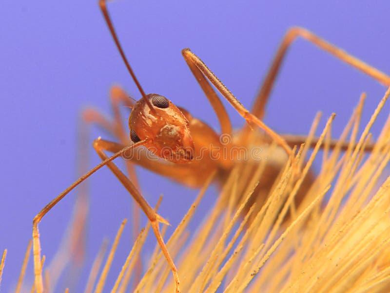 Cierre del detalle de la hormiga para arriba imagen de archivo