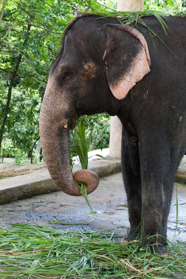 Cierre del elefante indio encima de la foto foto de archivo libre de regalías