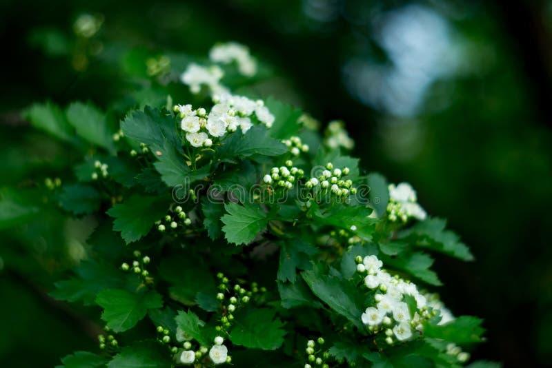 Cierre del flor del árbol de la flor blanca para arriba, fondo de la primavera imagen de archivo libre de regalías