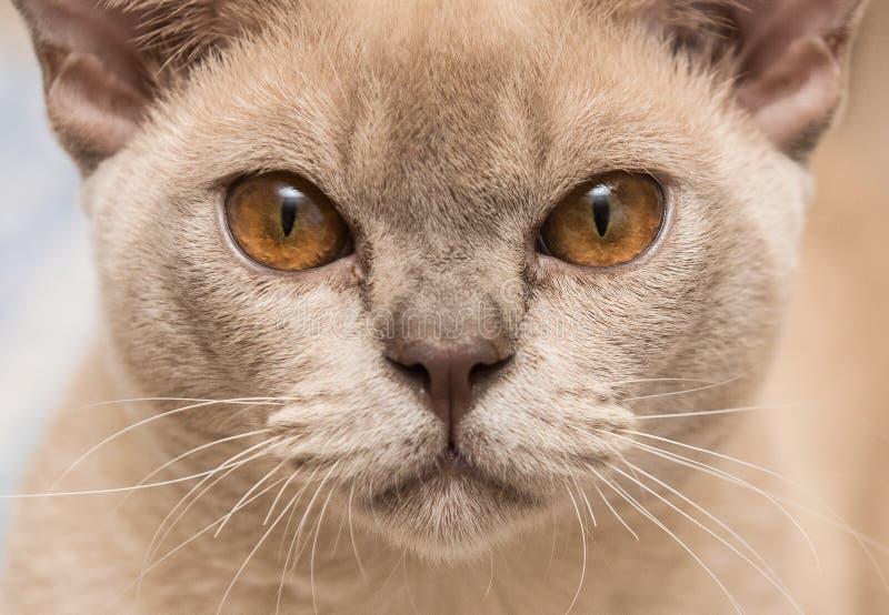 Cierre del gato de Birmania para arriba imagenes de archivo