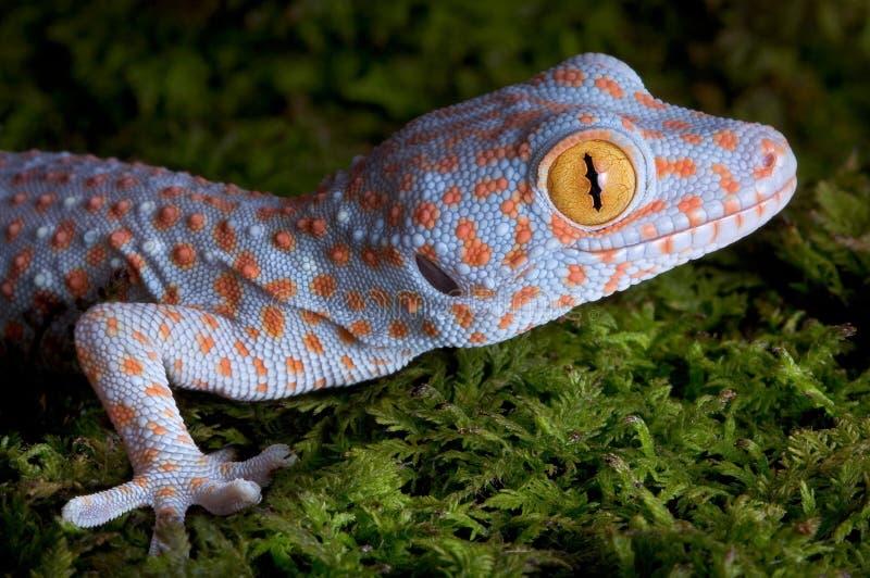 Cierre del gecko de Tokay para arriba fotografía de archivo libre de regalías