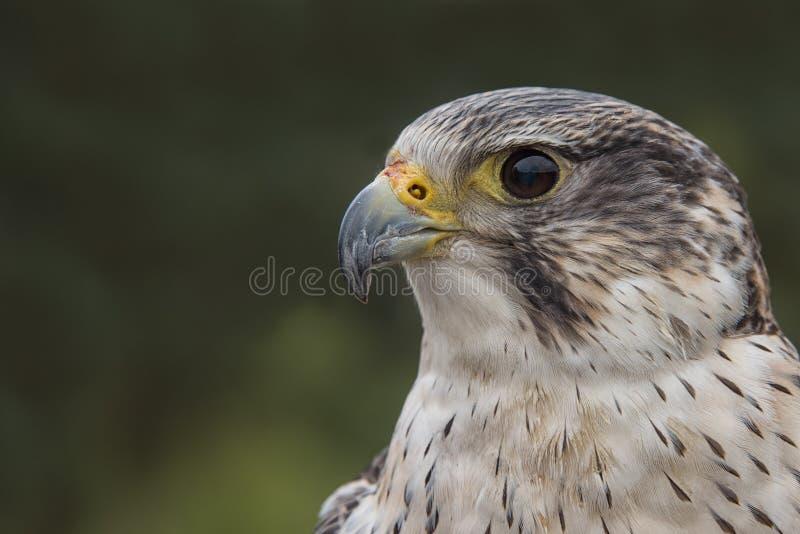 Cierre del híbrido del halcón de peregrino de Saker fotografía de archivo libre de regalías