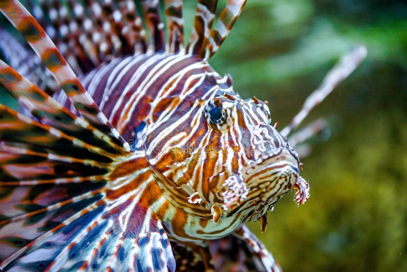 Cierre del lionfish de los pescados para arriba fotografía de archivo
