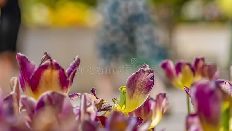 Cierre del marco del panorama para arriba de los tulipanes del deslumbramiento con la gente y construcción en el fondo borroso fotos de archivo libres de regalías