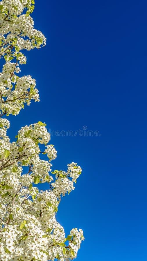 Cierre del marco del panorama para arriba de un árbol floreciente blanco contra un fondo claro de cielo azul fotos de archivo